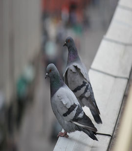 anti pigeon à casablanca